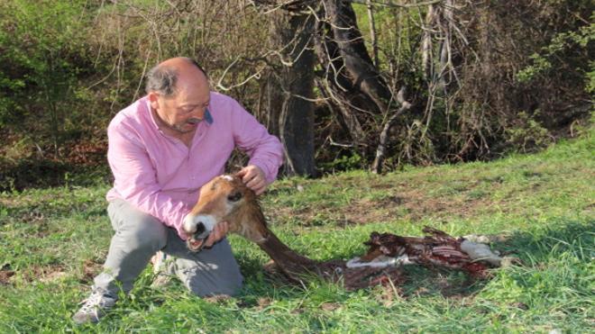 Los lobos matan un potro recién nacido en Porcieda