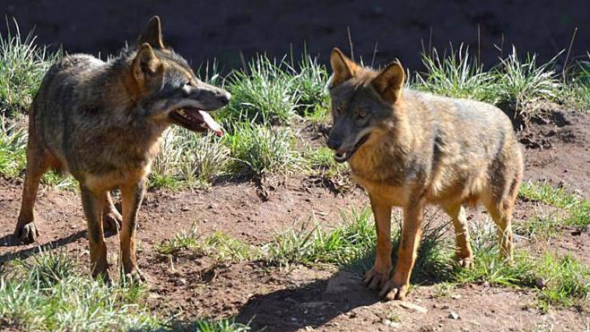 El Gobierno propone ahora mantener al lobo como especie cinegética