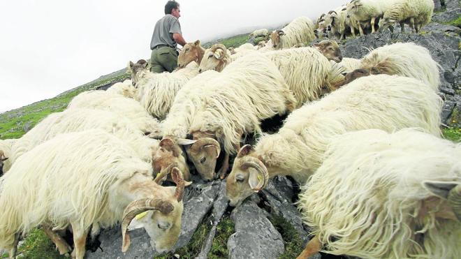 La autorización para cazar lobos rompe el consenso entre ganaderos y conservacionistas